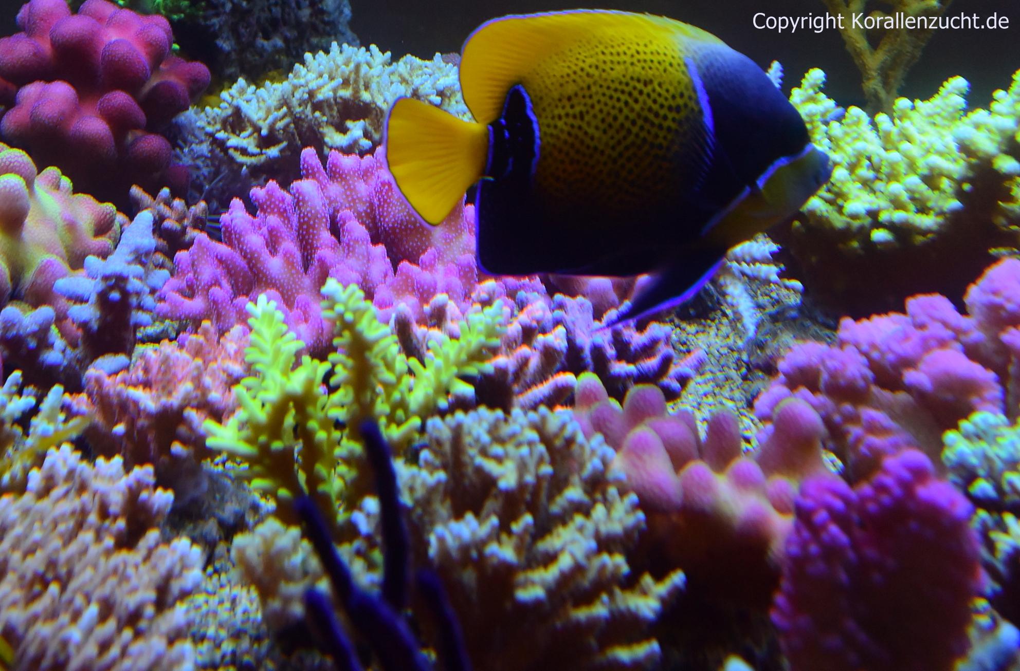 Coral Snow Plus Korallen Zucht De